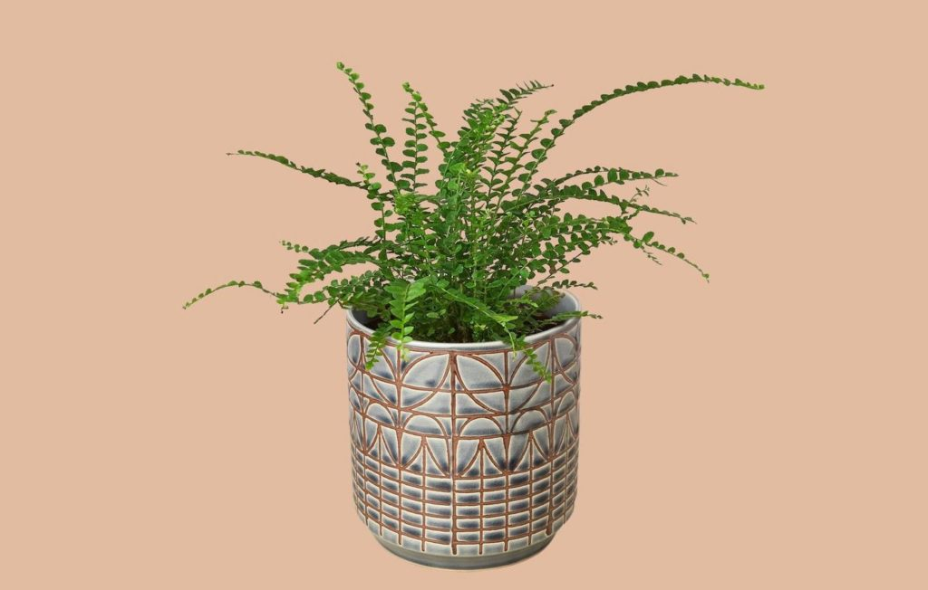 lemon button fern care for this house plant in a 4 slate planter