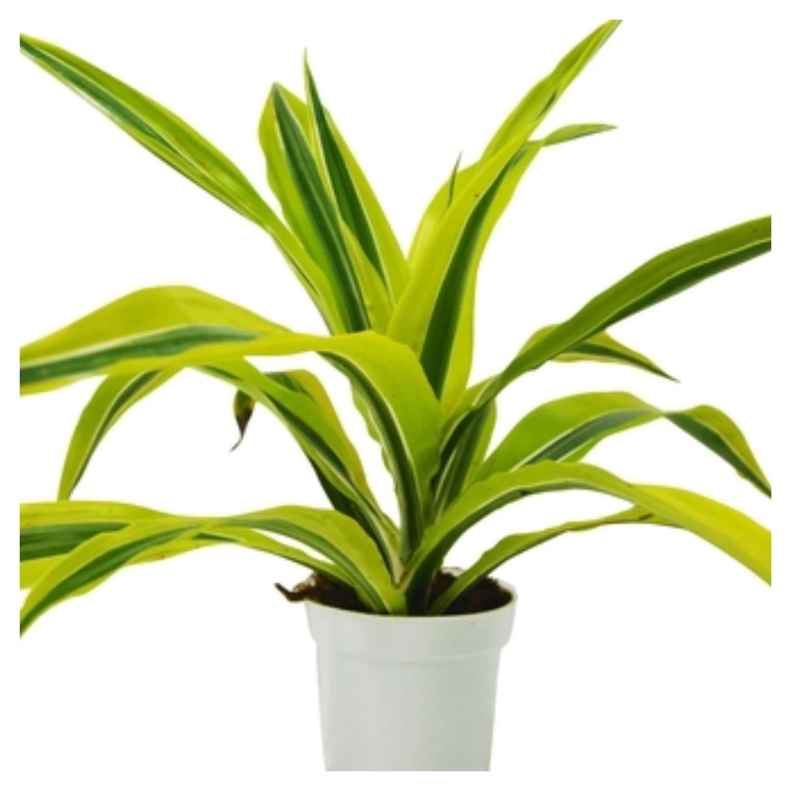dracaenas care guide