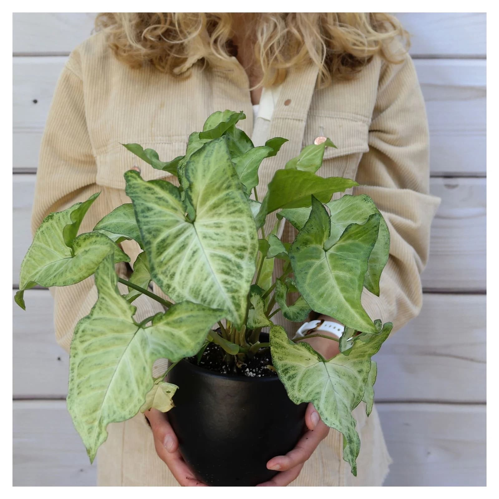 white butterfly syngonium care guide