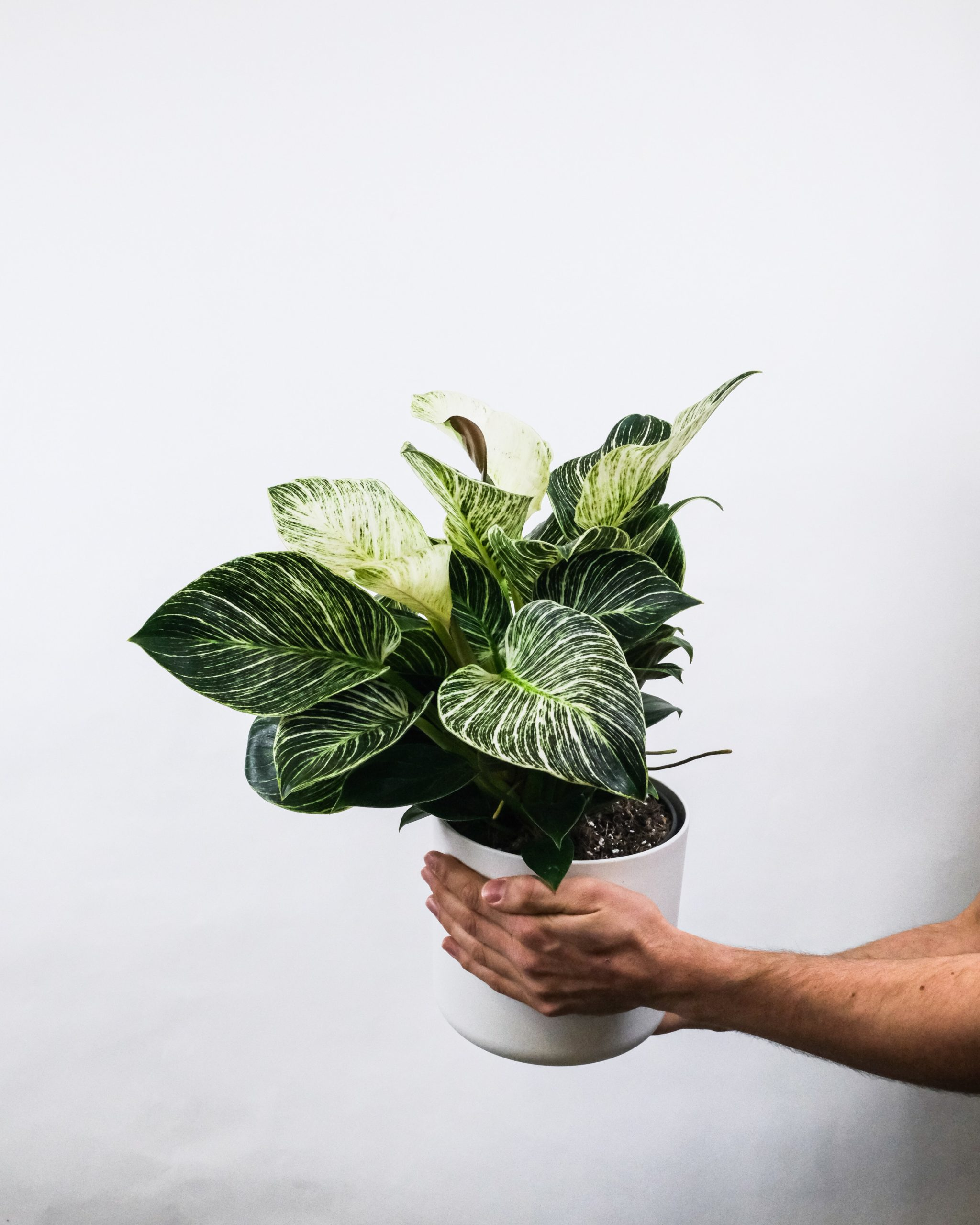 philodendron birkin houseplant in white pot held by hands